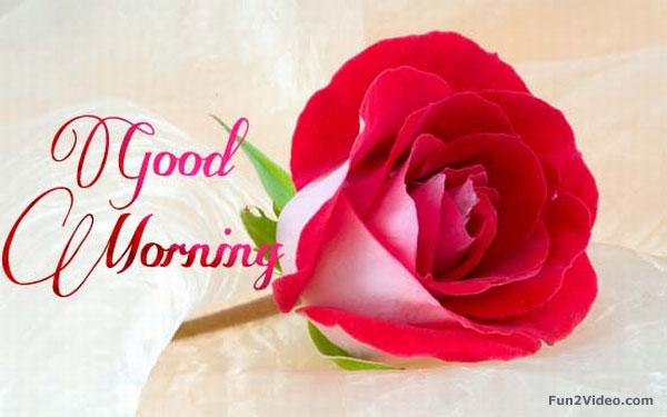 good-morning-rose